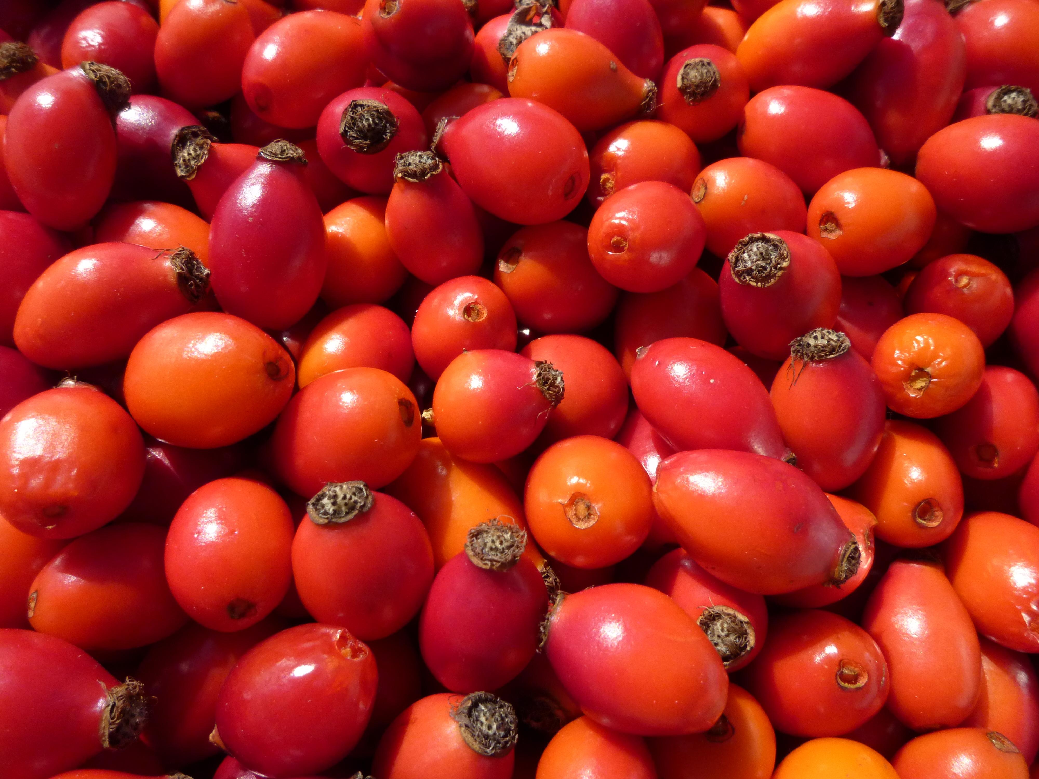 Die Früchte der Wildrose: die Hagebutten