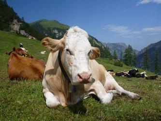 Vieh Prämienmarkt in Steg
